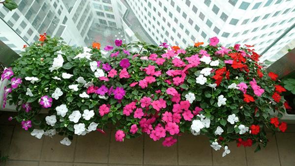 Ban công chung cư diện tích nhỏ nên trồng hoa dạ yến thảo