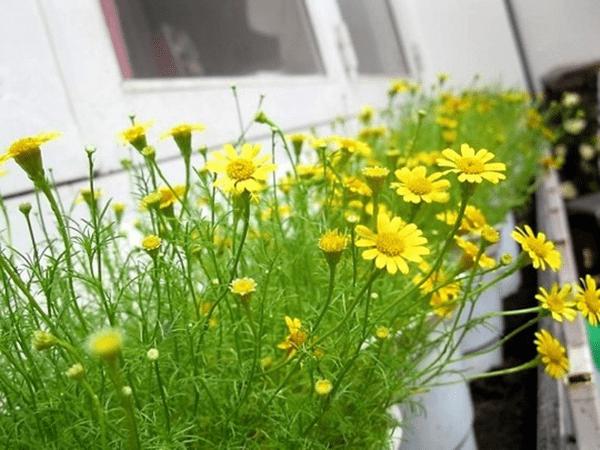 Ban công chung cư diện tích nhỏ nên trồng hoa bi sao băng