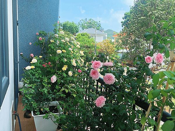 Ban công chung cư diện tích nhỏ nên trồng hoa hồng leo