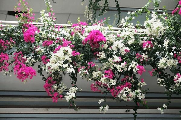 Chọn cây ưa sáng khi trồng ở ban công chung cư